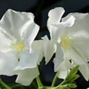 Oleander Mont Blanc 1 Art Print
