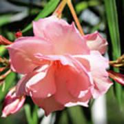 Oleander Mrs. Roeding 3 Art Print