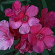 Oleanders In Pink Art Print