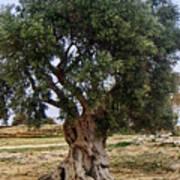 Olive Tree Sicily Art Print