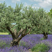 Olive Trees Of Provence Art Print