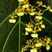 Oncidium Orchids Art Print