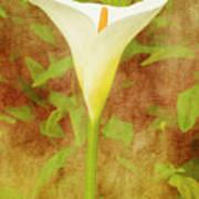 One Arum Lily Art Print