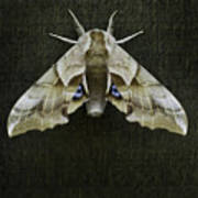 One Eyed Sphinx Moth Art Print