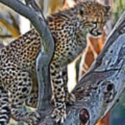 One Little Cheetah Sitting In A Tree Art Print