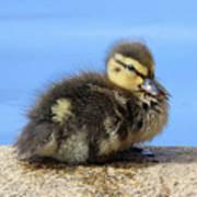 One Little Duckling Art Print