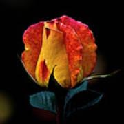 One Rose Art Print
