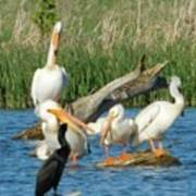 One Sassy Pelican And Friends, West Central Minnesota Art Print