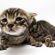One Week Old Kittens Art Print
