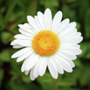 One White Daisy Art Print