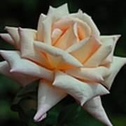 Only A Rose Art Print