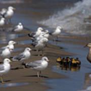 Ducklings In Trouble - Oops Not Into Diversity Art Print