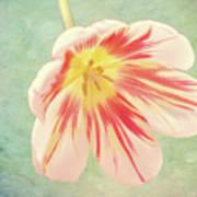 Open Bi-coloured Tulip Art Print