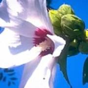 Open Hibiscus Flower With Deep Blue Sky Art Print