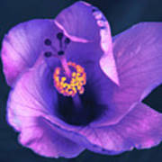 Opening Purple Hibiscus  Art Print