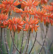 Orange Aloe  Art Print