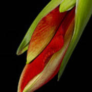 Orange Amaryllis Hippeastrum In The Beginning 2-21-10 Art Print