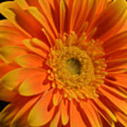 Orange And Yellow Tip Gerbera Daisy Art Print