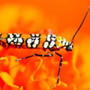 Orange Beetle On Orange Flower Art Print
