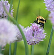 Orange-belted Bumblebee On Chive Blossoms Art Print