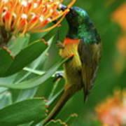 Orange-breasted Sunbird Feeding On Protea Blossom Art Print