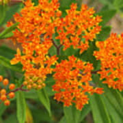 Orange Butterfly Weed From Above Art Print