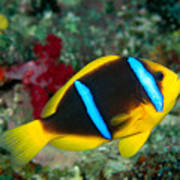 Orange-fin Anemonefish Art Print