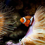 Orange Fish In Sea Anemones Art Print