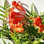 Orange Trumpet Flowers At Pilgrim Place In Claremont-california  Art Print