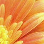 Orange Gerbera Petals Print by Wim Lanclus