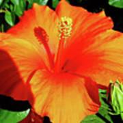 Orange Hibiscus Art Print