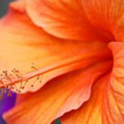 Orange Hybiscus Art Print