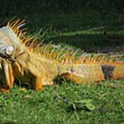 Orange Iguana Art Print