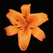 Orange Lily On Black Art Print