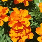 Orange Marigolds In Bloom Art Print