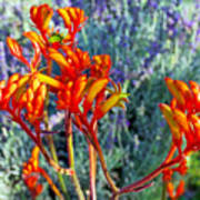 Yellow-orange Kangaroo Paws At Pilgrim Place In Claremont-california- Art Print