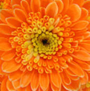 Orange Mum In Detail Art Print