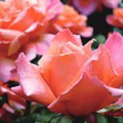 Orange-pink Roses  Art Print