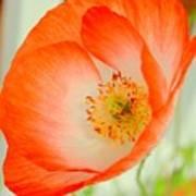 Orange Poppy Offering Nectar Art Print