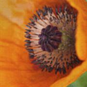 Orange Poppy With Texture Art Print