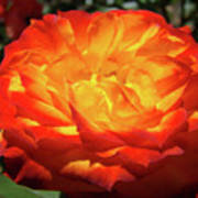 Orange Red Rose Flower Art Prints Giclee Baslee Troutman Art Print