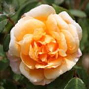 Orange Rose Square Art Print