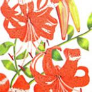 Orange Tiger Lilies Art Print