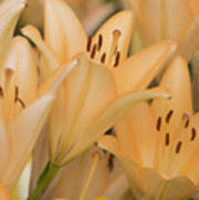 Orange Tiger Lillies Art Print