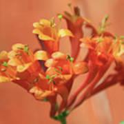 Orange Trumpet Honeysuckle Art Print