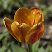 Orange Tulip Squared Art Print