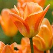 Orange Tulips 2 Art Print