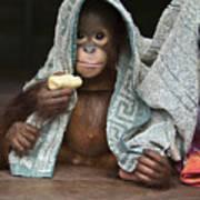 Orangutan 2yr Old Infant Holding Banana Art Print