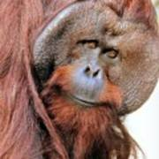 Orangutan Male Closeup Art Print