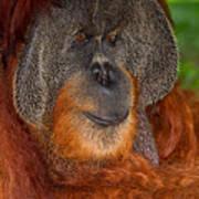Orangutan Male Art Print